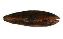 Freshwater pearl mussel ventral