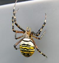 Stor spindel sverige