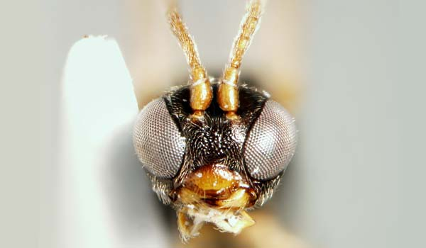 Parasitic Wasp. Photo: Julia Stigenberg