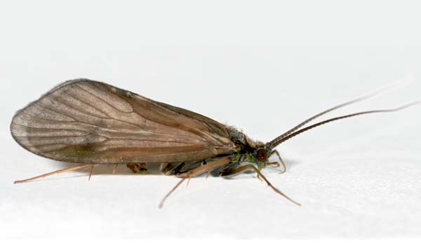 Caddisfly. Photo: Kjell Arne Johanson