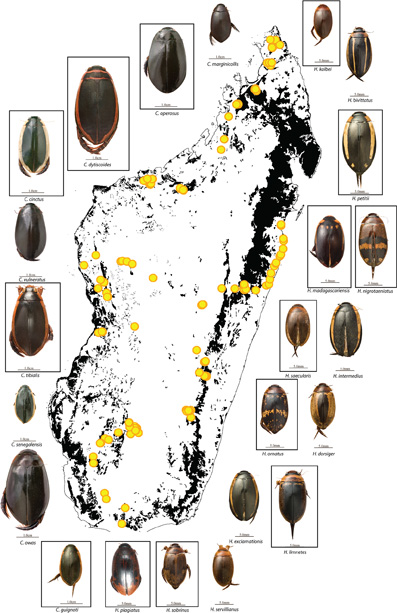 Hydaticus and Cybister species colonized Madagascar multiple times but never radiated. Endemic species in squares. From Bukontaite et al (2015).