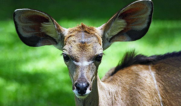 Young kudu with big ears By Kevin Walsh (kevinzim) from Oxford, England - Flickr, CC BY 2.0, https://commons.wikimedia.org/w/index.php?curid=827765