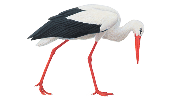 Vit stork. Illustration: Håkan Delin