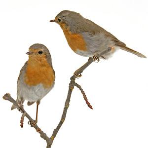 små fåglar i sverige