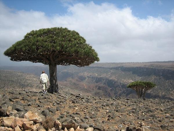 Late-Precambrian volcanic rocks and dragon blood trees, Socotra Island, Yemen.