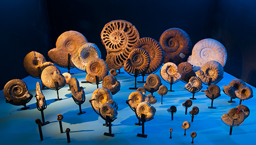 Fossile ammonites. Photo: Annica Roos
