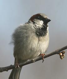 fåglar i sverige vinter