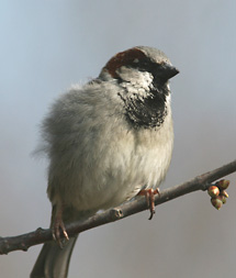 antal fåglar i sverige