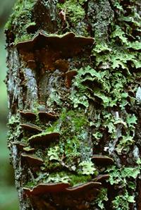 tickor på träd