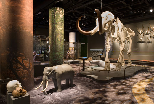 The mammoth, the ancestral elephant and the dwarf elephant. Photo: Staffan Waerndt.